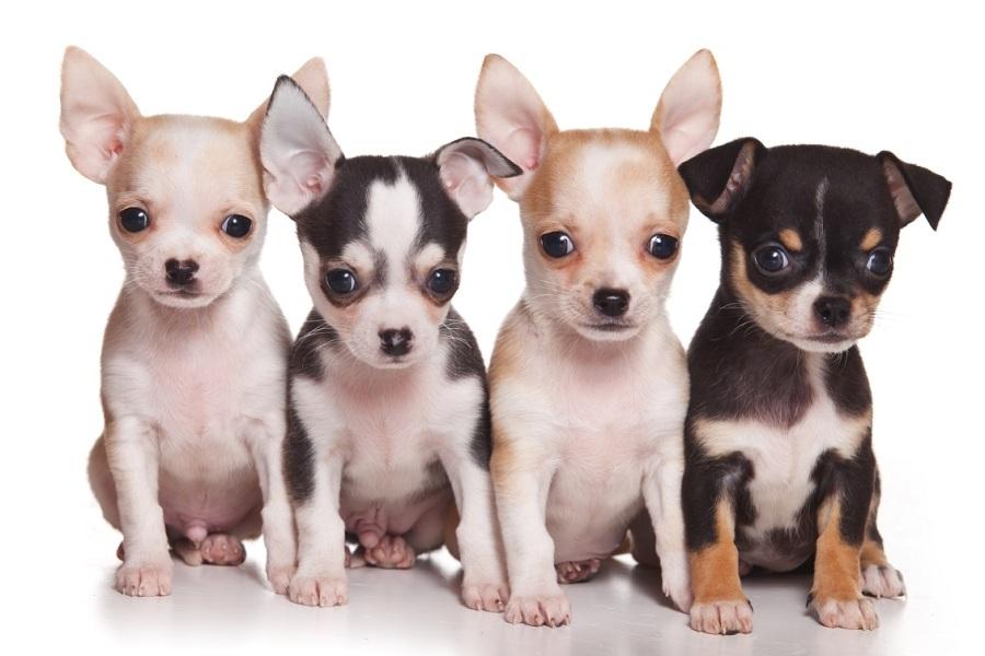 Chihuahuas_pao.jpg